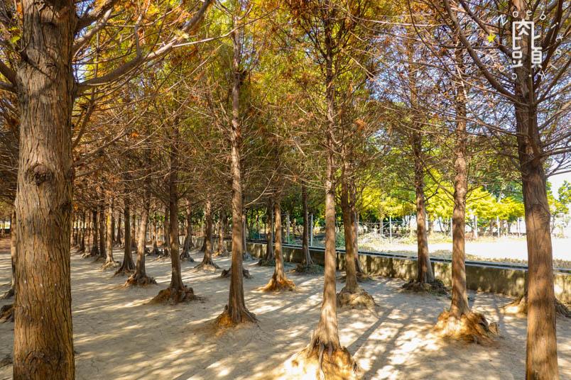 chungbuk fall pine 1