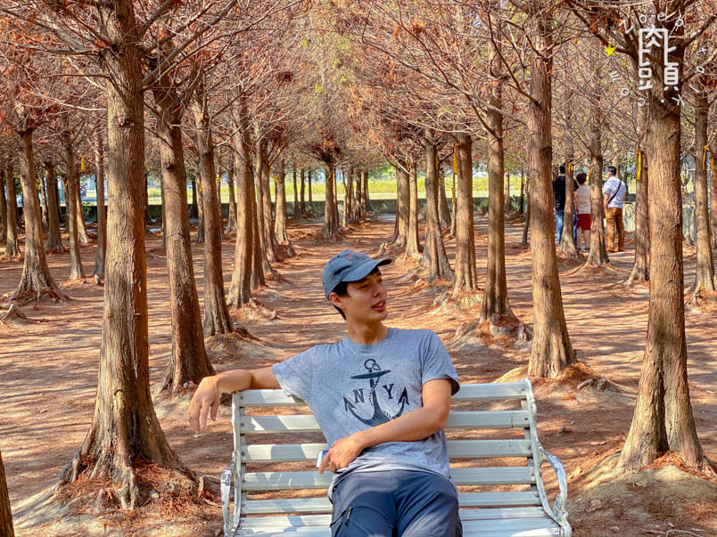 chungbuk fall pine 4