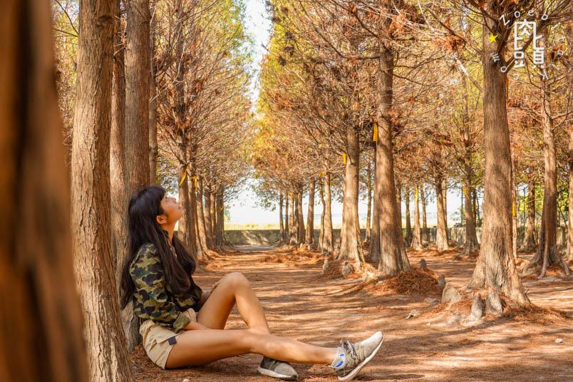 chungbuk fall pine 5