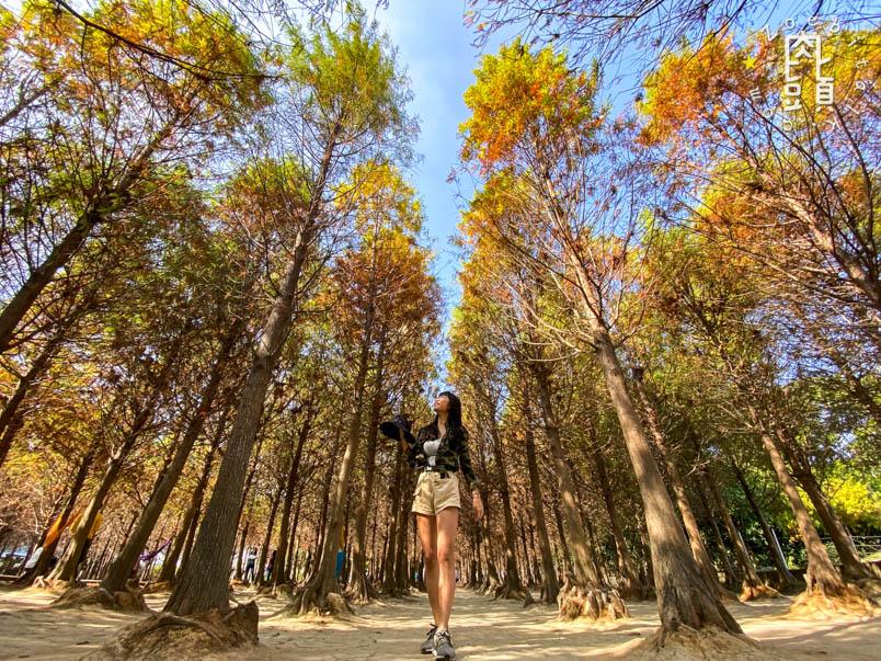 chungbuk fall pine 6