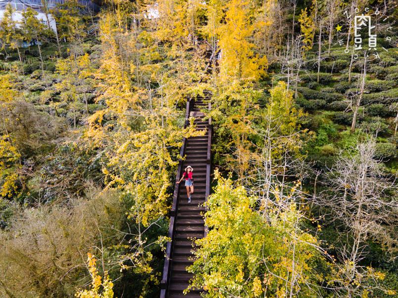 nantou gingko forest 11