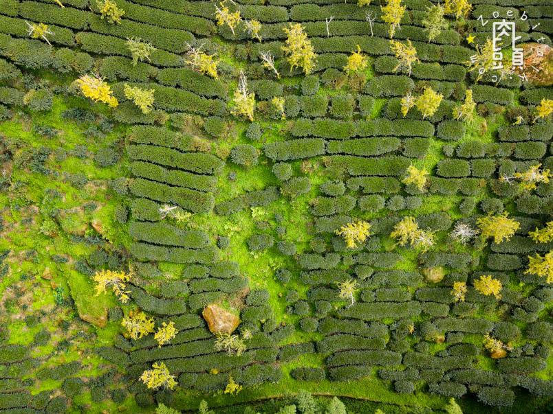 nantou gingko forest 24